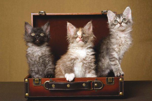 Три маленьких лаперма разного окраса сидят в чемодане