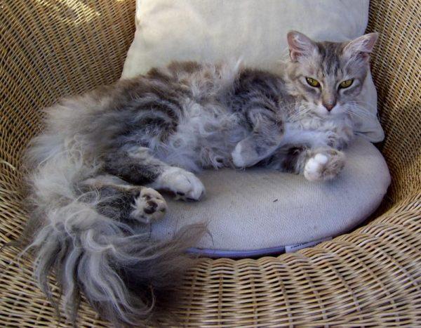 Кошка породы лаперм на лежанке в корзине