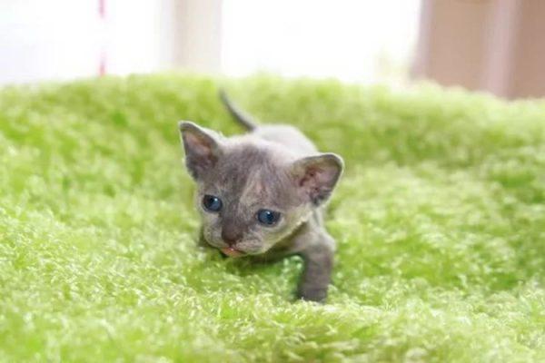 Маленький котёнок минскина на зелёном пушистом коврике