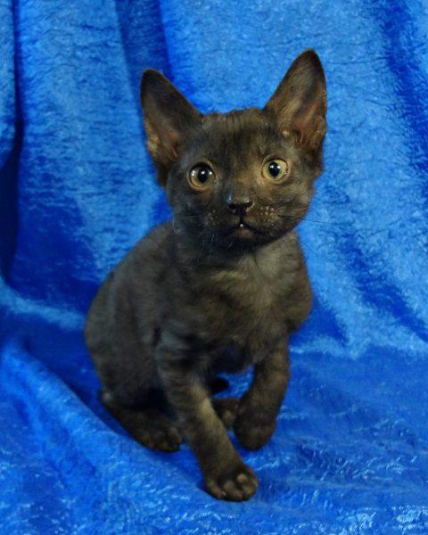 Тёмный котёнок уральского рекса с черепаховым окрасом