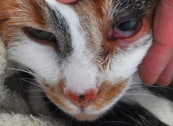 Конъюнктивит у кошки