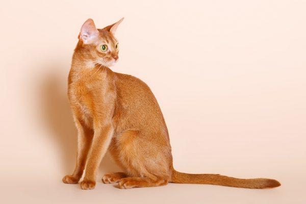 Абиссинская кошка на бежевом фоне