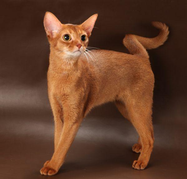 Абиссинская кошка рыжего окраса со спиральным хвостом