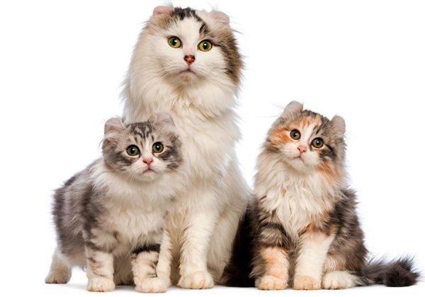 Кошка и котята американские кёрлы