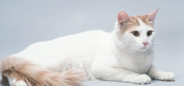 Анатолийская короткошерстная кошка
