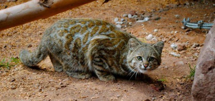 фото андская кошка