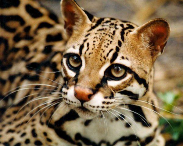 Азиатская леопардовая дикая кошка