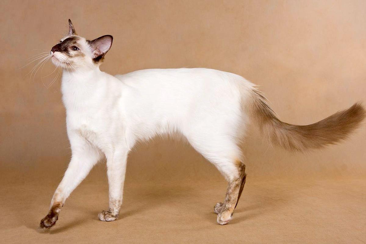 Балинезийская кошка: описание, уход и разведение