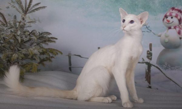 Белая балинезийская кошка
