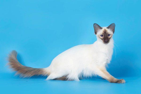 Балийская кошка на голубом фоне