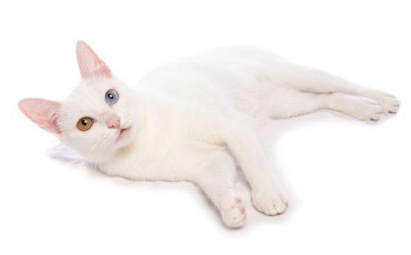 Белая кошка као мани лежит на боку