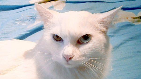 Белая кошка као мани зло прищурилась