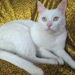Белоснежная анатолийская кошка