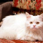 Белый кот-метис лежит на диване
