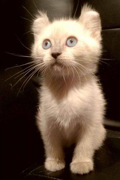 Белый котёнок кинкалоу сидит и смотрит вверх