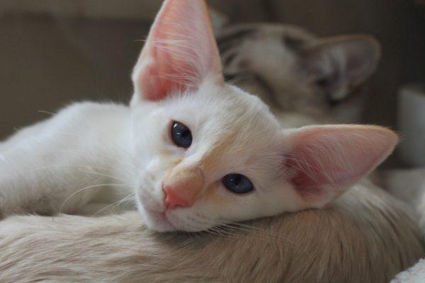 Белый котёнок яванской породы