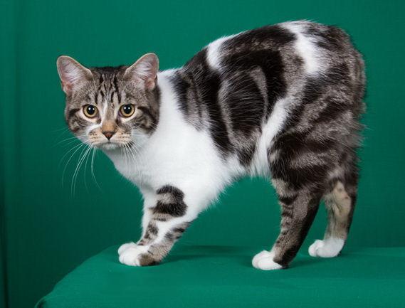 Бесхвостый кот