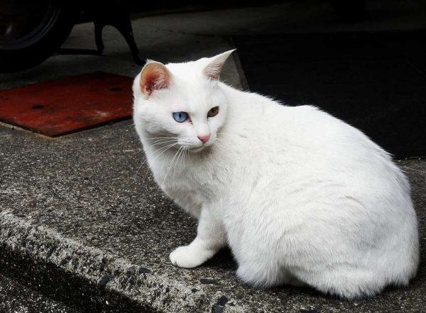 Бездомная анатолийская кошка