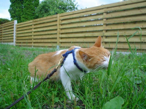 Бобтейл на прогулке