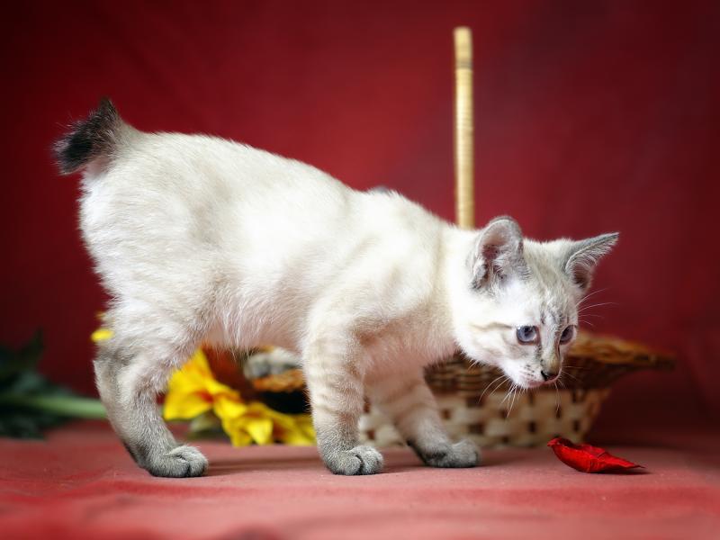 Кошки без хвоста — выбор и особенности разных пород