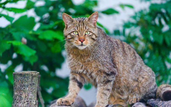 Большой серо-полосатый кот на заборе