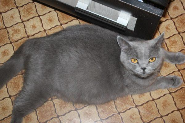 Британская беременная кошка лежит на полу