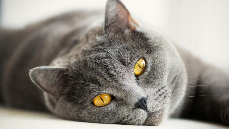 Особенности кормления котят и взрослых кошек британской породы