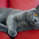 Британская кошка лежит на красном кожаном диване