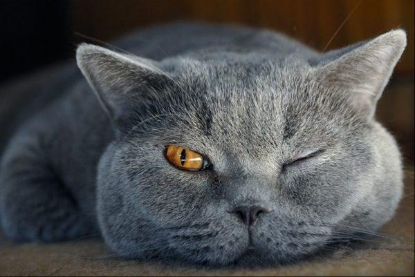 британская кошка с закрытым глазом