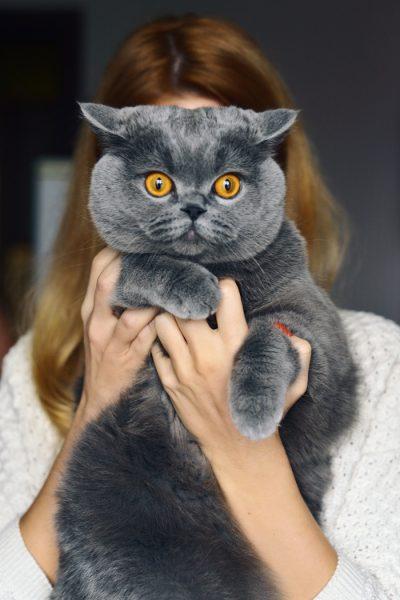 Британская кошка на руках
