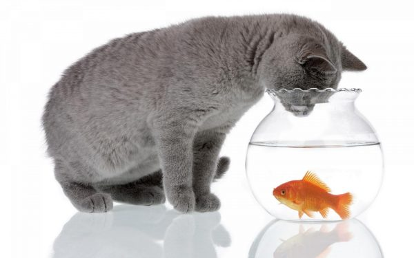 Британская кошка смотрит на золотую рыбку