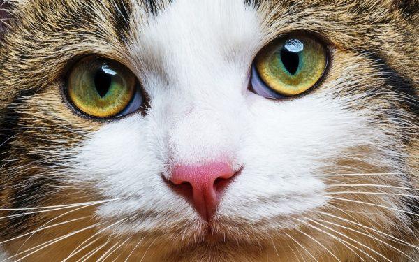 Морда трёхцветной кошки крупным планом