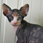 черепаховый лысый кот