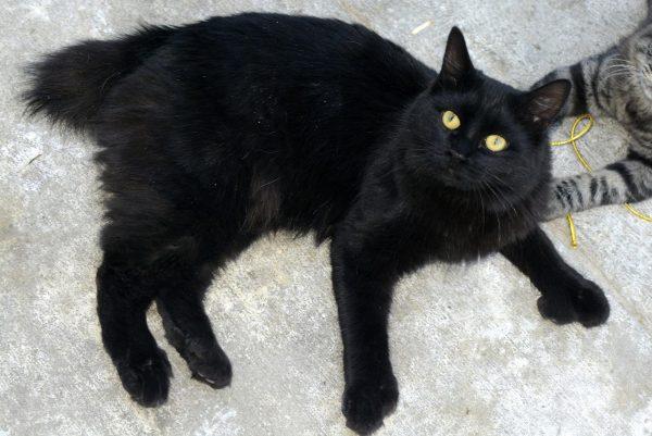 чёрная кошка породы мэнкс