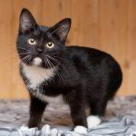 Чёрная кошка с белыми лапками и грудкой
