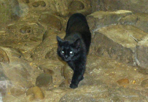 Чёрная пампасская кошка