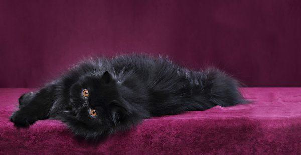 чёрная персидская кошка с рыжими глазами лежит на боку