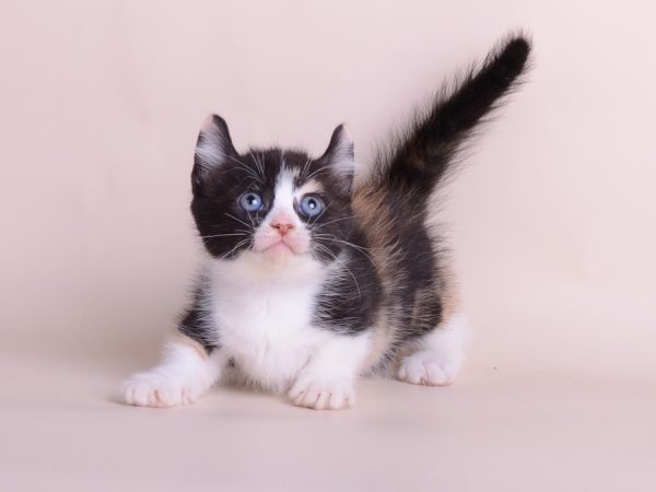 Чёрно-белый котёнок кинкалоу смотрит вверх