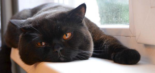 Чёрный британский кот