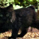 Чёрный кимрик в саду