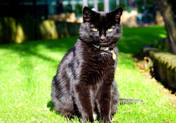 чёрный кот с блестящей шерстью сидит на зелёной траве