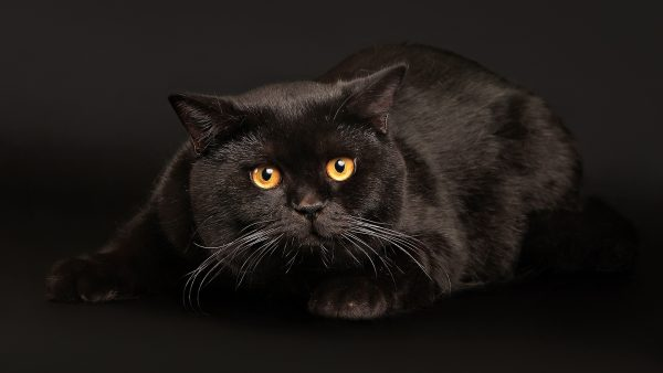 чёрный кот с рыжими глазами на чёрном фоне