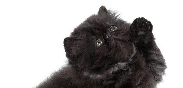 Чёрный котёнок поднял лапу