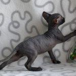 чёрный лысый кот