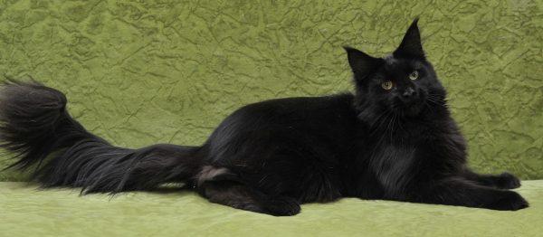 чёрный мейнкун с длинным хвостом на зелёном фоне
