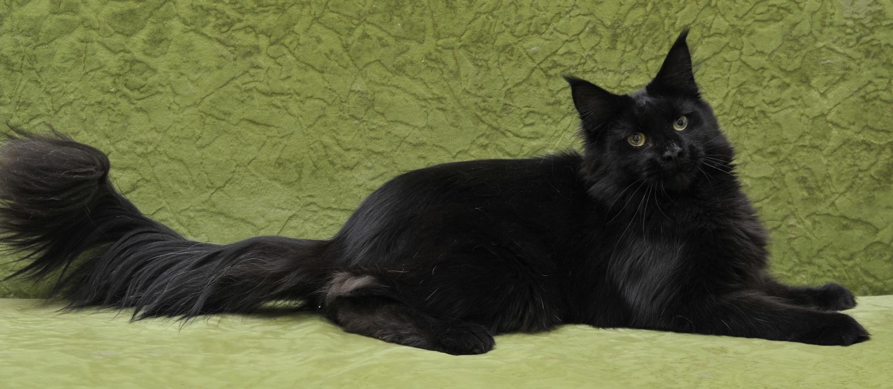 Черная абиссинская кошка фото