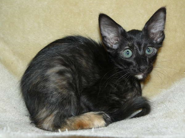 Чёрный яванский котёнок