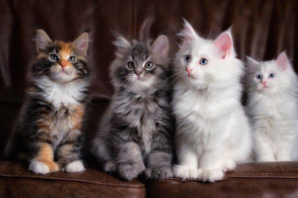 Четыре пушистых котёнка сидят рядком