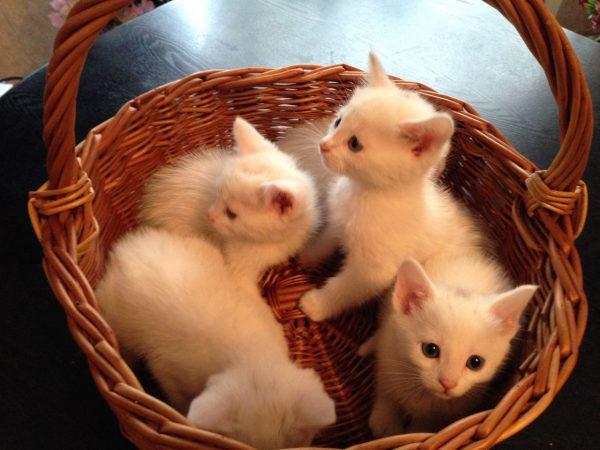 Четыре котёнка као мани в плетёной корзине