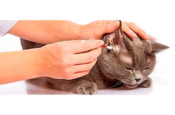 Чистка ушей коту